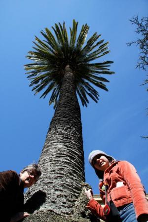 Monterey Palm