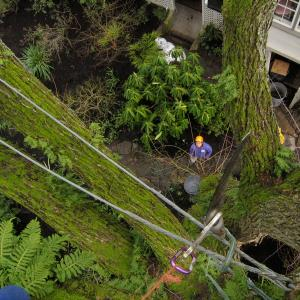 Cabling saves a trees canopy